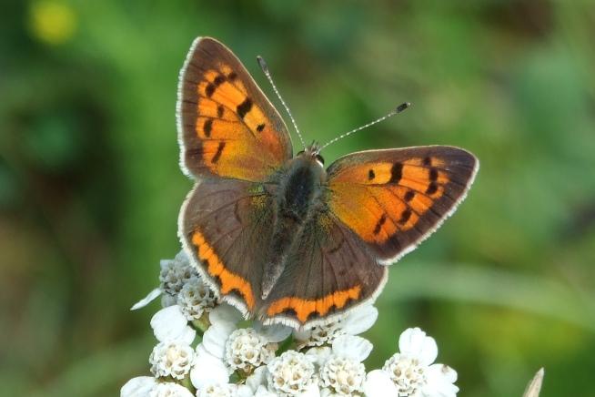 Schmetterling Kleiner Feuerfalter