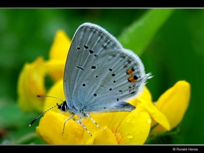 Schmetterling Kurzschwänziger Bläuling Cupido argiades