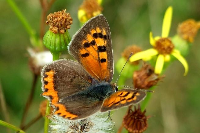 Schmetterling Kleiner Feuerfalter Lycaena phlaeas